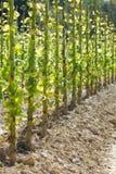 Tobacco stalks after harvest Stock Image