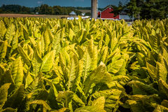 Tobacco to harvest in Lancaster County Royalty Free Stock Images
