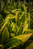 Tobacco to harvest in Lancaster County PA Stock Photos