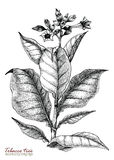 Tobacco tree hand drawing vintage style. Isolated on white background Stock Image