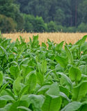 Tobaco Anlage Stockbild