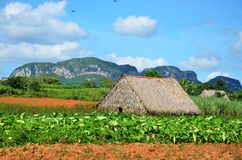Tobaco farm in Vinales, Cuba. Tobaco farm with typical farming house in Vinales, Cuba Stock Photography