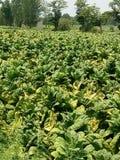 Tobacos nel kpk mardan Immagine Stock