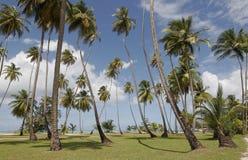 >Tobago-Palmen Stockfoto