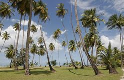 >Tobago palms. Palms on Tobago Pigeon point beach Stock Photo