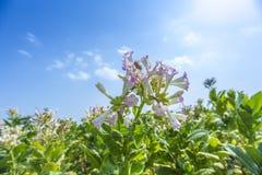 Tobak blommar mot en blå himmel Royaltyfria Foton