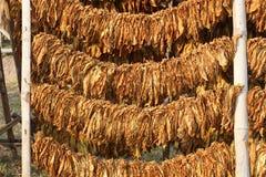 Tobak lämnar uttorkning på en kugge Royaltyfri Fotografi
