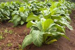 Tobakfält Arkivfoto