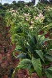 Tobakfält Arkivbild