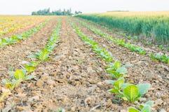 Tobakfält Royaltyfria Bilder
