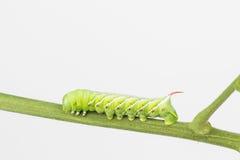 Tobakhornworm Arkivfoton