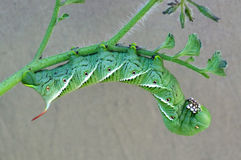 Tobakhornworm Royaltyfria Foton