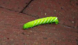 Tobakhornworm Royaltyfri Fotografi