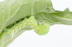 Tobakhornworm under tomatbladet Arkivbilder