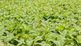 Tobakkoloni i Bueng khan Thailand Royaltyfria Foton