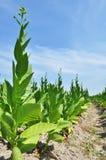 Tobaklantgård i en by Arkivfoto