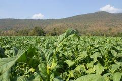 Tobaklantgård i morgon på bergssidan Arkivfoto