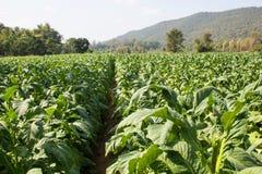 Tobaklantgård i morgon på bergssidan Arkivbilder