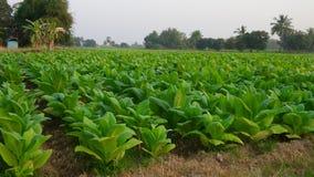 Tobakträd Royaltyfria Foton