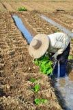 Tobakväxt i lantgård av thailand Royaltyfri Bild