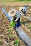 Tobakväxt i lantgård av thailand Arkivfoto