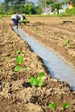 Tobakväxt i lantgård av thailand Arkivbild