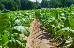 Tobakväxt, jordbruk för branschen av tobakprodukter Arkivfoto