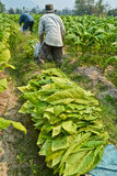 Tobakväxt och bonde i lantgård Fotografering för Bildbyråer