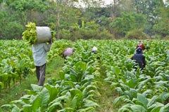 Tobakväxt och bonde i lantgård Royaltyfri Fotografi