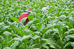 Tobakväxt och bonde i lantgård Arkivfoto