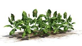 Tobakväxter stock illustrationer