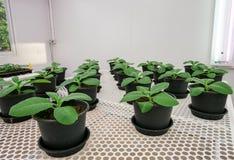 Tobakväxter för sjukdomprovning. Arkivbild