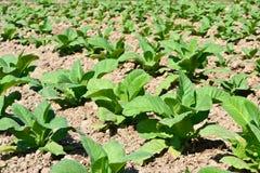 Tobakväxt i lantgård av thailand Royaltyfria Foton