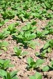 Tobakväxt i lantgård av thailand Arkivfoton