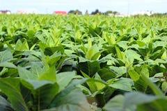 Tobbaco plantation Stock Photo