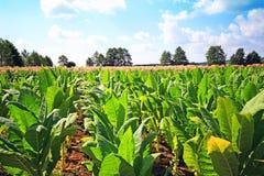 Tobbaco plantation Stock Photography