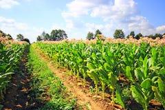 Tobbaco plantation Royalty Free Stock Photography