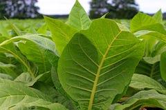 Tobbaco plantation Royalty Free Stock Images