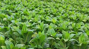 Tobbaco plantation Stock Images