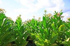Tobbaco plantation Royalty Free Stock Photo