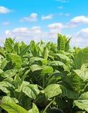 Tobbaco plantation Stock Image
