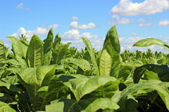 Tobbaco plantation Stock Photos