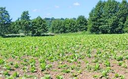 Tobbaco plantation fields in Poland Royalty Free Stock Photography