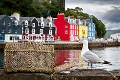 Tobermory seagull Royalty Free Stock Photography