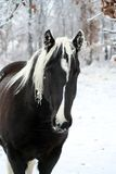 Tobiano pinto horse in winter royalty free stock photos