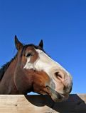 Tobiano Stallion. Comical tobiano stallion with head over fence Royalty Free Stock Photos