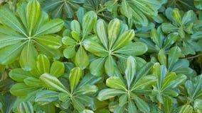 Tobira verde de Pittosporum del arbusto Imagen de archivo