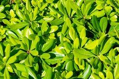 Tobira verde floral Nana del pittosporum del arbusto fotografía de archivo