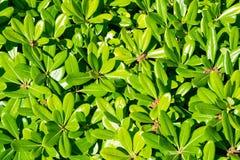 Tobira verde floral Nana del pittosporum del arbusto imagen de archivo