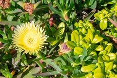 Tobira verde floral Nana do pittosporum do arbusto fotografia de stock royalty free